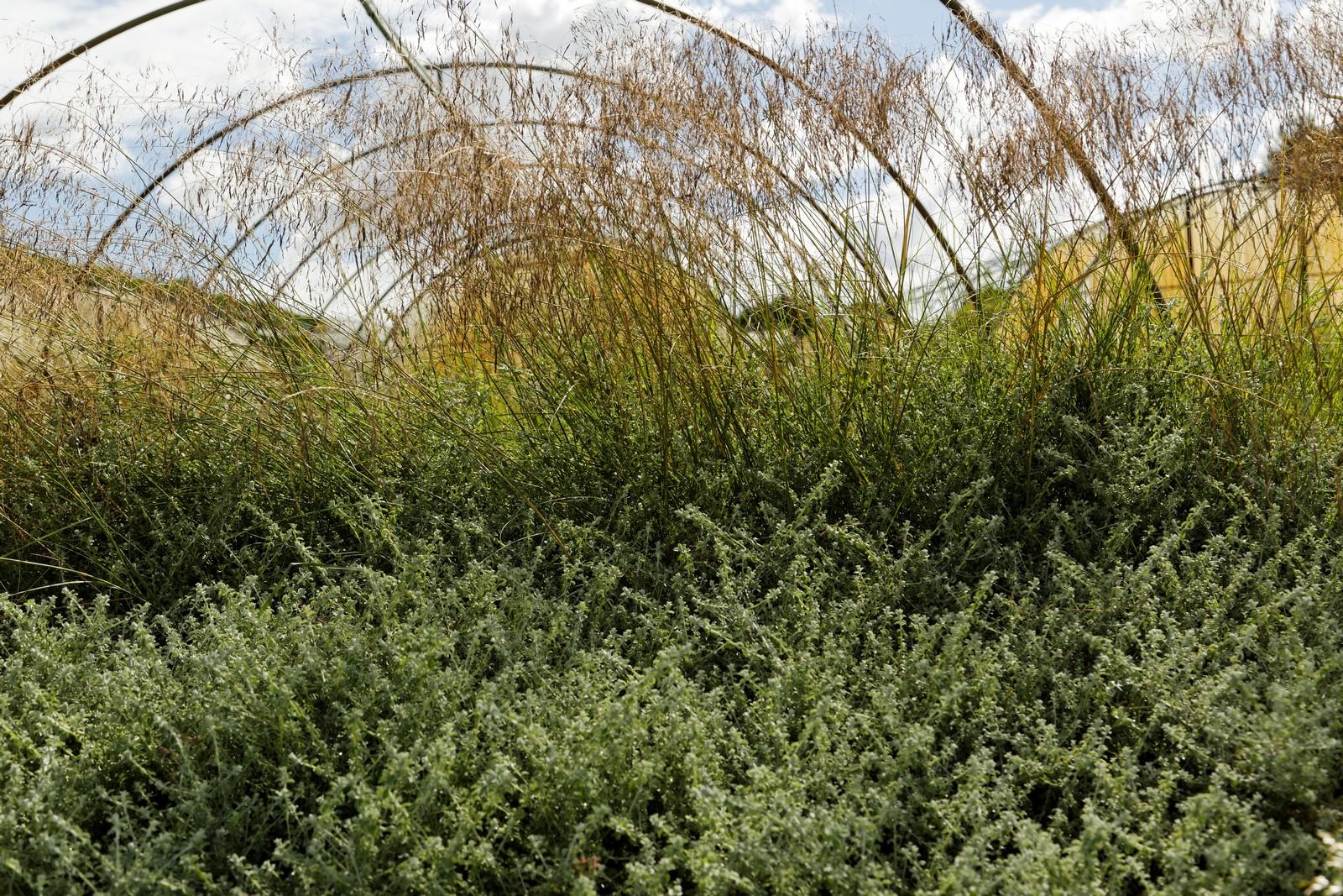 eragrostis-spectabilis
