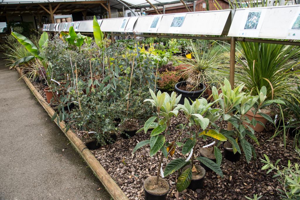 eriobotria japonica