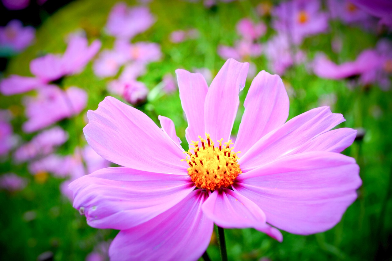 flower-field-1525900_1280